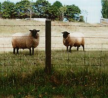 siamese sheep by sunset