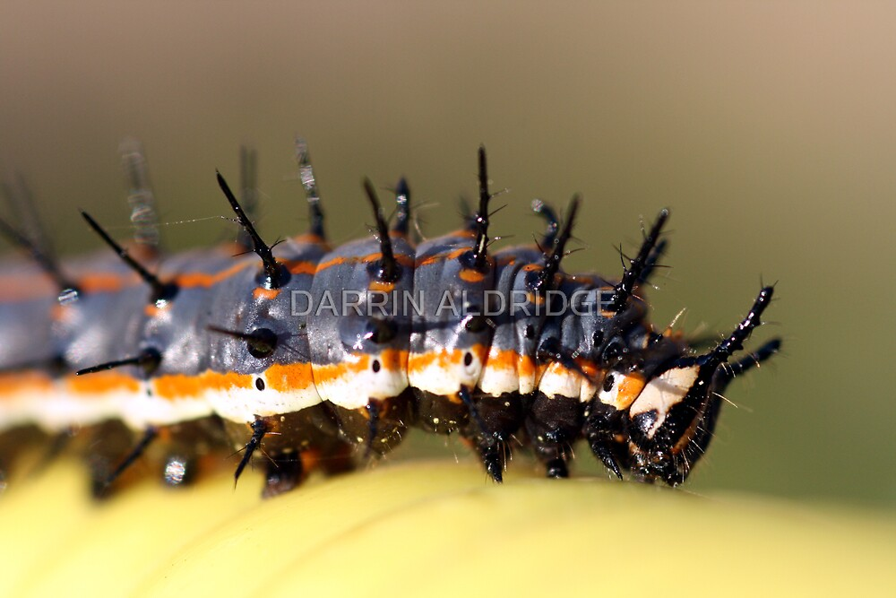 Caterpillar on Yellow by DARRIN ALDRIDGE