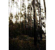 Vintage Photo of Pine Forest Photographic Print