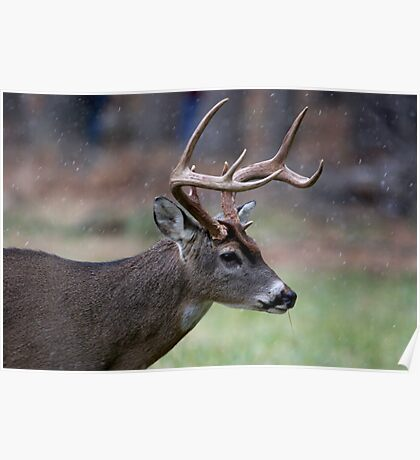 Snow Falling On A White-Tailed Deer Poster