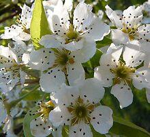 Apple Blossums by suebankert