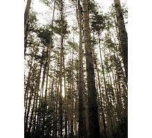 Vintage Photo of Pine Forest 7 Photographic Print