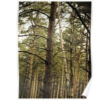 Vintage Photo of Pine Forest 11 Poster
