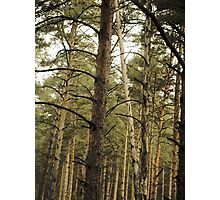 Vintage Photo of Pine Forest 11 Photographic Print