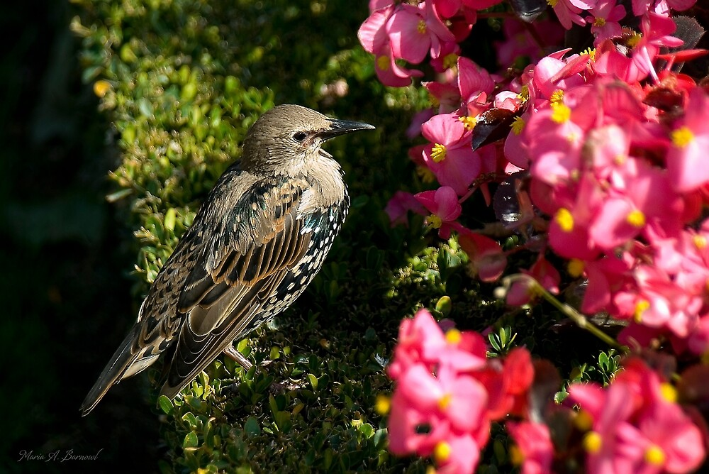 Starling by Maria A. Barnowl