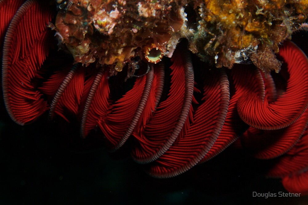 Feather Star by Douglas Stetner