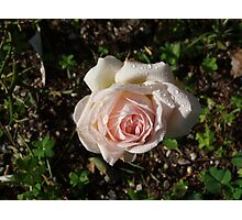 Rose with Dew Drops  Photographic Print