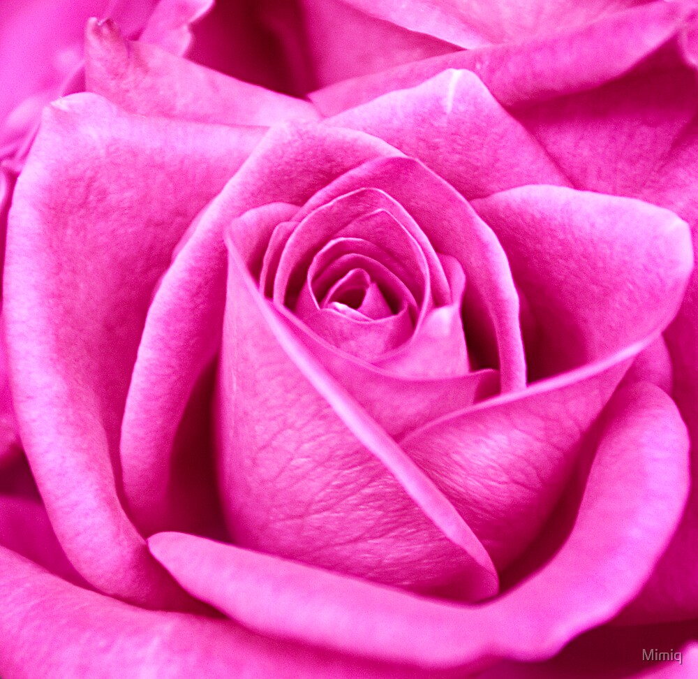 Pink Rose 2 by Mimiq
