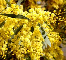 Wattle by gypsygirl