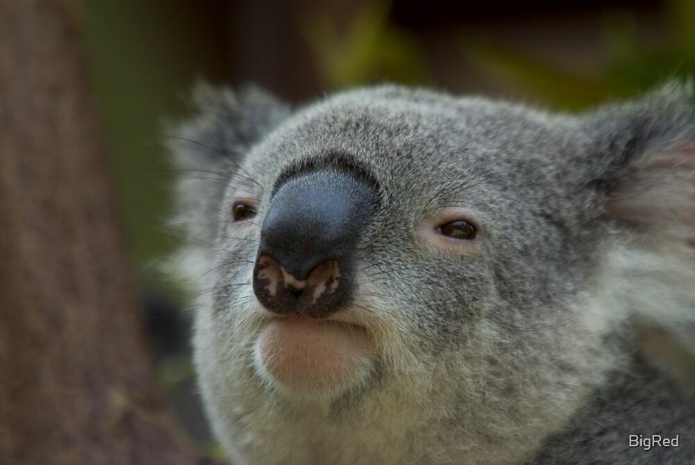 Koala by BigRed