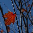 Almost Over - The Last Red Maple Leaves by Georgia Mizuleva