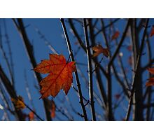 Almost Over - The Last Red Maple Leaves Photographic Print