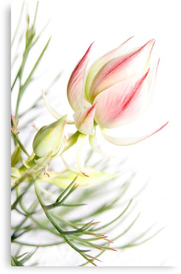 Protea sugar and spice by Barb Leopold