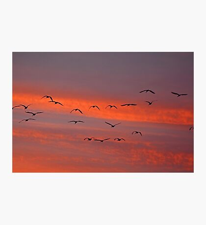 Flight of the Pelicans Photographic Print