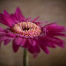 Pink Gerbera by eddiej