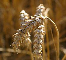 Corn by Laura Marsh