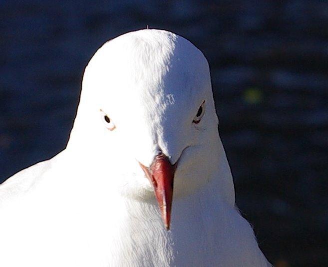 Seagull 1 by Geoff46