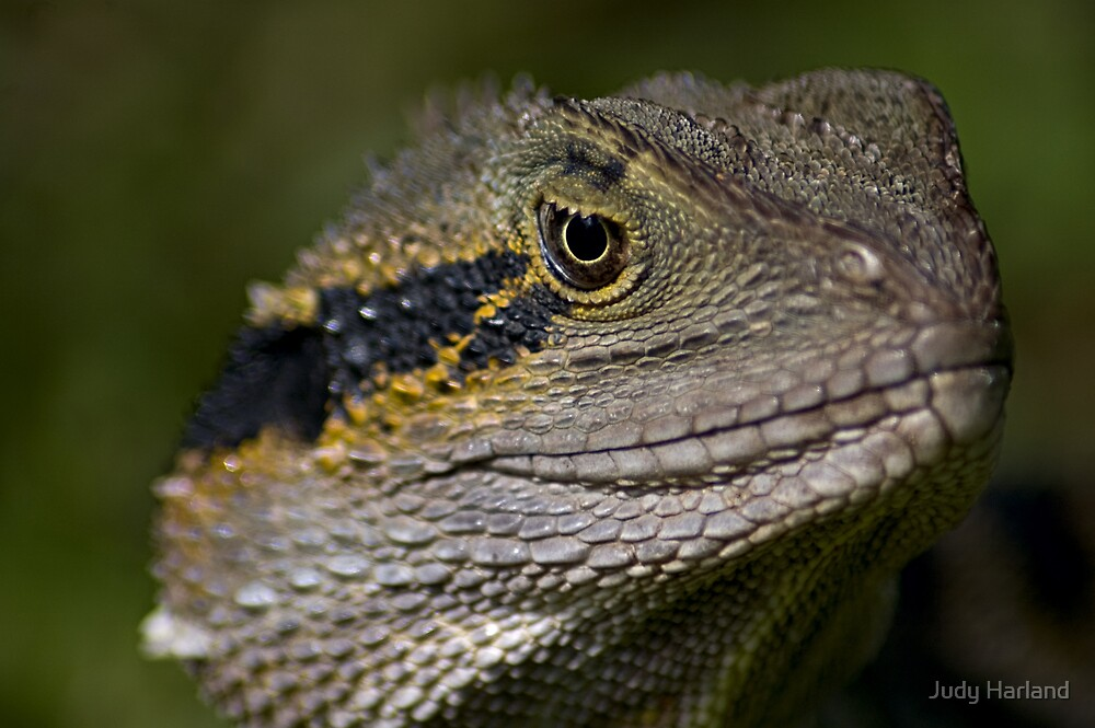 Eastern Water Dragon by J Harland