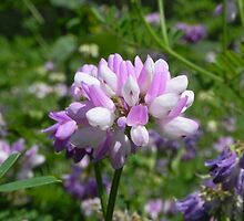 Purple Crown Vetch by Martha Medford