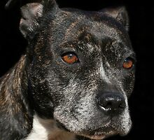 Staffordshire Bull Terrier Portrait by LunarLioness