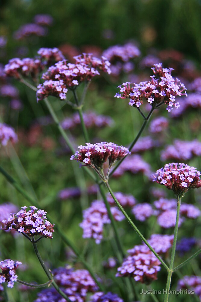 Verbena bonariensis by Justine Humphries