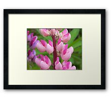 Pink Lupin Framed Print