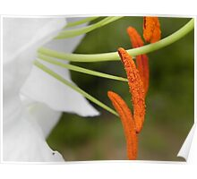 Anther & Filament of a White Lily Poster