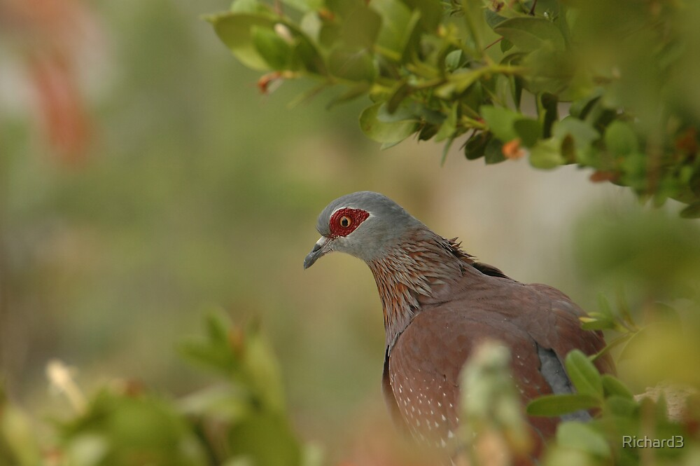 Red ring eyed dove by Richard3