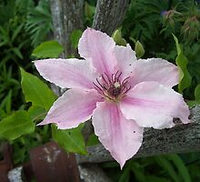 Pink Clematis by Martha Medford