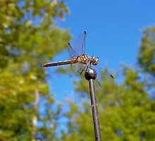 Dragon flies by lilymarie