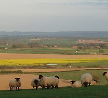 Sheep, Lyth Hill by Frances Knight