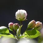 Apple Blossom 2 by Martha Medford
