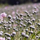 field of poppies by ligek
