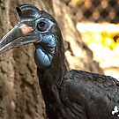 Northern Ground Hornbill by imagetj