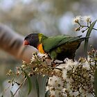 Rainbow Lorikeet by Debra LINKEVICS