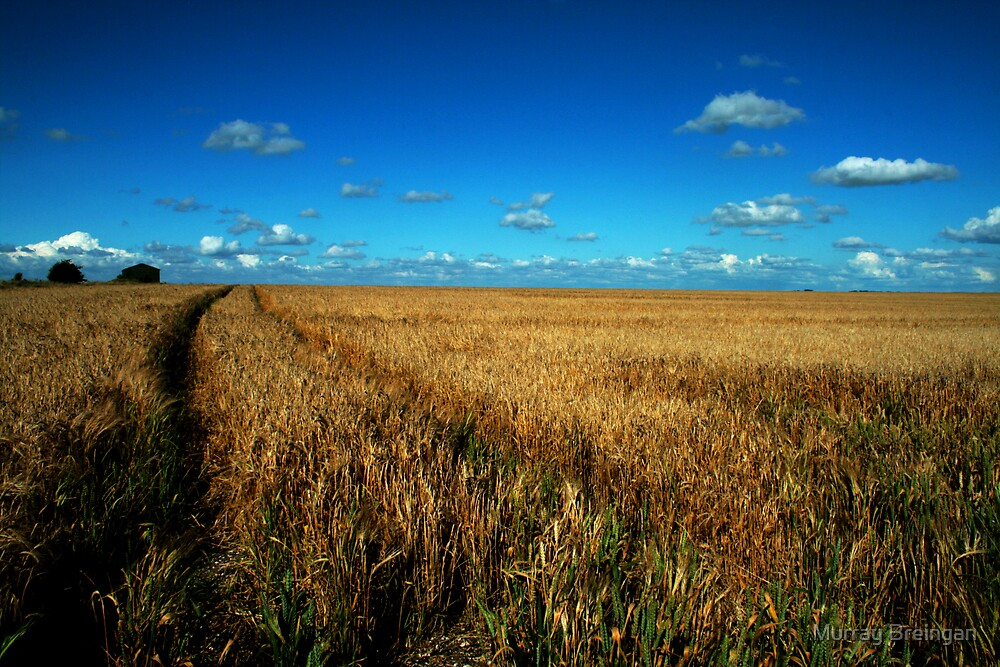 Blue Sky's and golden fields by Murray Breingan