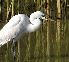 Common Egret by jim west
