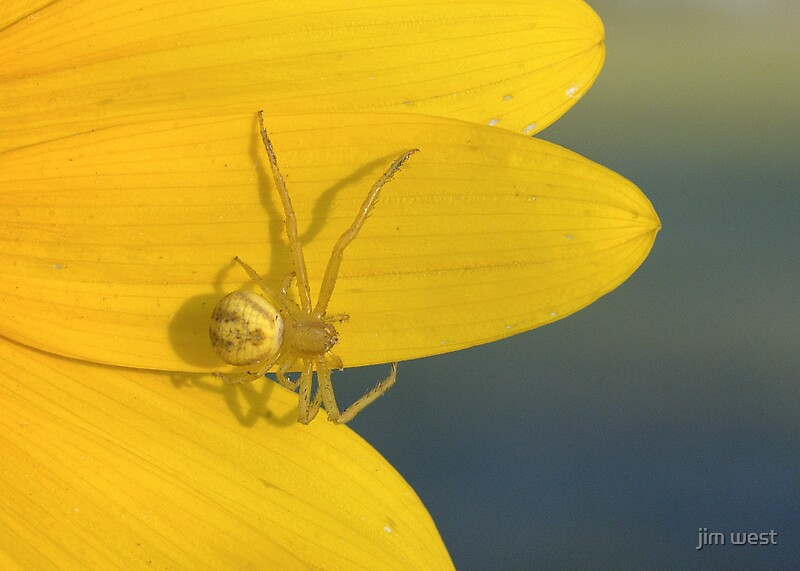 Crab spider by jim west