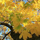 Yellow in the Maple by reindeer