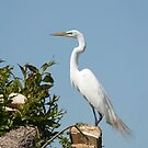 Elegant Great Egret by Thomas Young