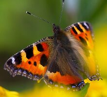 Small Tortoiseshell Butterfly by Neil Bygrave (NATURELENS)