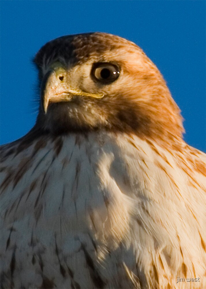 Young Red Tailed Hawk by jim west