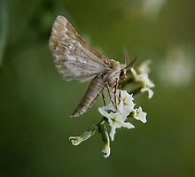 Free State Moth... South Africa by Qnita