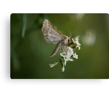 Free State Moth... South Africa Canvas Print