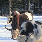 Scottish cattle  by zumi
