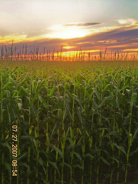 sunset with corn by Jaclyn Clemens