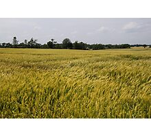 Golden Wheat Harvest, Ripening In The Wind Photographic Print