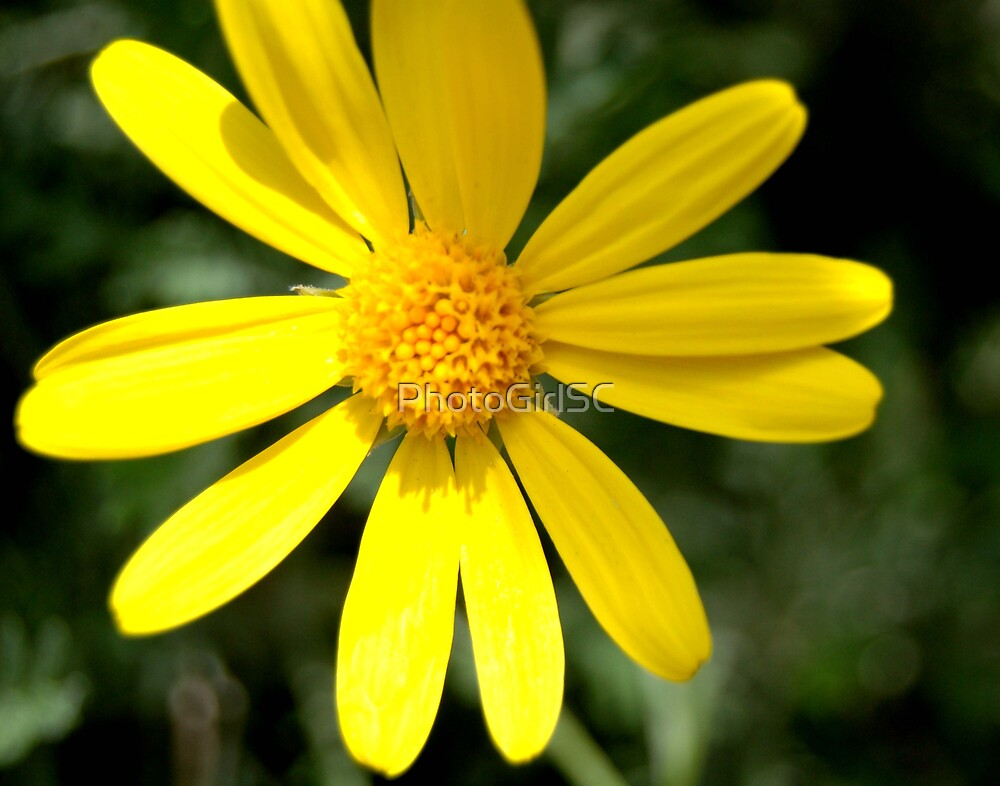 Yellow Daisy by Bjana Hoey