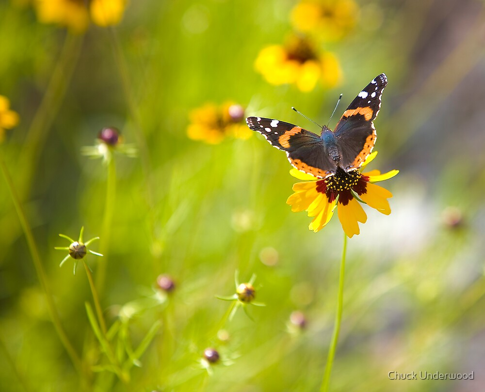 Red Admiral Butterfly by Chuck Underwood