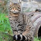 Stunning Highland Tiger (Scottish Wildcat) by Dorothy Thomson